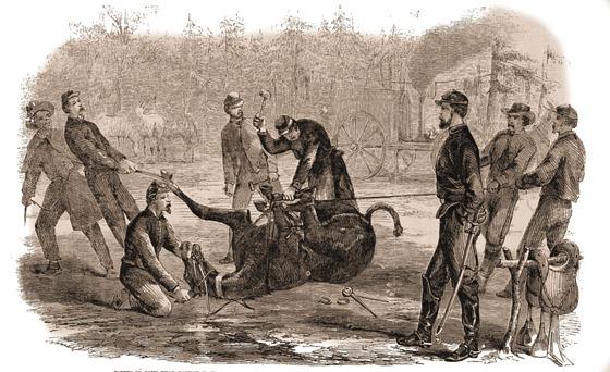 shoing a mule